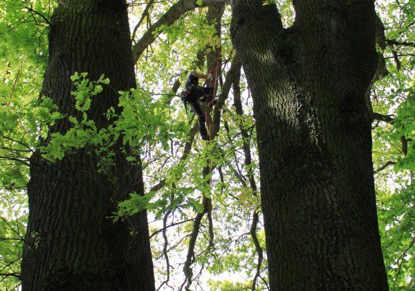 Totholz entfernen in einer alten Eiche